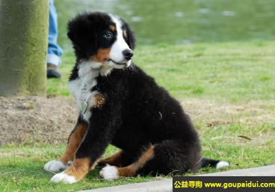 寻狗启示,阿彭则牧牛犬 - 优良的牧羊犬,它是一只非常可爱的宠物狗狗,希望它早日回家,不要变成流浪狗。