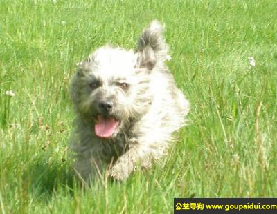 ,爱尔兰峡谷梗犬 - 忠诚于自己的主人和家庭,它是一只非常可爱的宠物狗狗,希望它早日回家,不要变成流浪狗。