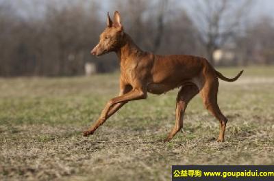 寻狗启示,埃特那岛猎犬 - 温顺且充满热情,它是一只非常可爱的宠物狗狗,希望它早日回家,不要变成流浪狗。