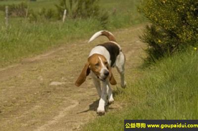 寻狗启示,阿图瓦猎犬 - 个性活跃、友善,脾性温和,它是一只非常可爱的宠物狗狗,希望它早日回家,不要变成流浪狗。