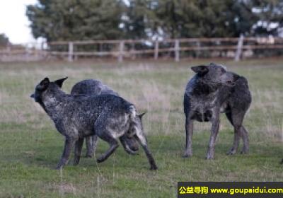 寻狗启示,阿登牧牛犬 - 精力充沛并有很强的耐力,它是一只非常可爱的宠物狗狗,希望它早日回家,不要变成流浪狗。