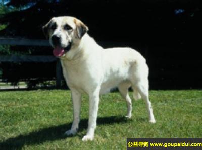 寻狗启示,安纳托利亚牧羊犬 - 能适应各种气候,健壮勇敢,它是一只非常可爱的宠物狗狗,希望它早日回家,不要变成流浪狗。