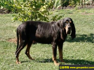,奥地利黑褐猎犬 - 嗅觉灵敏,和蔼可亲,它是一只非常可爱的宠物狗狗,希望它早日回家,不要变成流浪狗。
