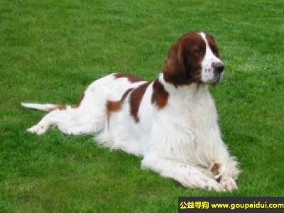 ,爱尔兰红白蹲猎犬 - 友好、聪明、喜欢工作,它是一只非常可爱的宠物狗狗,希望它早日回家,不要变成流浪狗。