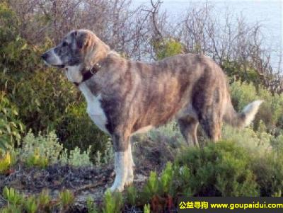 ,阿兰多獒犬 - 善于游泳和潜水,友善快乐,它是一只非常可爱的宠物狗狗,希望它早日回家,不要变成流浪狗。