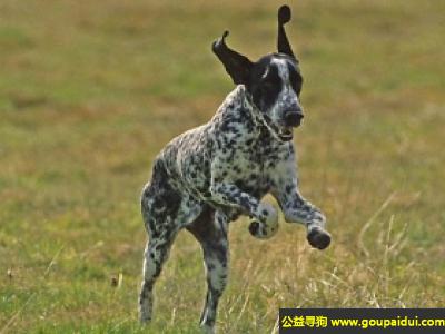 寻狗启示,奥弗涅指示犬 - 性格活泼而敏感,对主人忠诚,它是一只非常可爱的宠物狗狗,希望它早日回家,不要变成流浪狗。