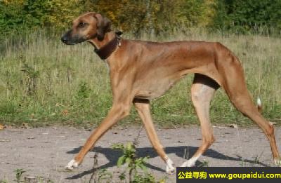 寻狗启示,阿札瓦克犬 - 敏捷,与陌生人保持警惕性,它是一只非常可爱的宠物狗狗,希望它早日回家,不要变成流浪狗。