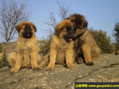 ,埃斯特卑拉山犬 - 镇静勇敢,强壮敏捷,它是一只非常可爱的宠物狗狗,希望它早日回家,不要变成流浪狗。