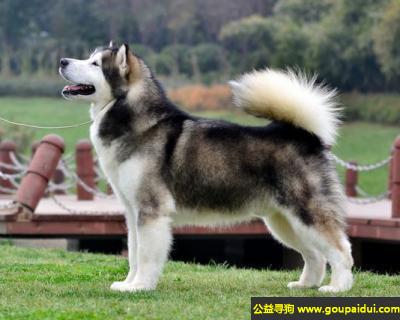 寻狗启示,阿拉斯加犬 - 即阿拉斯加雪橇犬,高贵成熟,它是一只非常可爱的宠物狗狗,希望它早日回家,不要变成流浪狗。