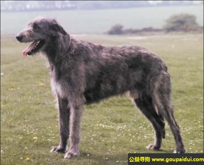 寻狗启示,爱尔兰猎狼犬 - 速度快而有力,它是一只非常可爱的宠物狗狗,希望它早日回家,不要变成流浪狗。