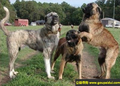 寻狗启示,阿特拉斯牧羊犬 - 对主人和家庭成员非常有感情而且善良,它是一只非常可爱的宠物狗狗,希望它早日回家,不要变成流浪狗。