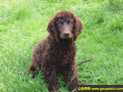 寻狗启示,爱尔兰水犬 - 聪明有耐力且勇敢,警惕性高,它是一只非常可爱的宠物狗狗,希望它早日回家,不要变成流浪狗。