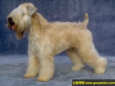 ,爱尔兰软毛麦色梗犬 - 温情、对主人忠诚,它是一只非常可爱的宠物狗狗,希望它早日回家,不要变成流浪狗。