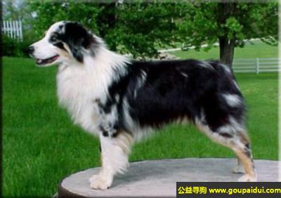 寻狗启示,澳大利亚牧羊犬 - 聪明,警觉,活跃,它是一只非常可爱的宠物狗狗,希望它早日回家,不要变成流浪狗。