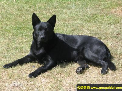 ,澳大利亚卡尔比犬 - 工作效率极高,是很敬业的犬,它是一只非常可爱的宠物狗狗,希望它早日回家,不要变成流浪狗。