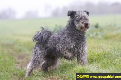 寻狗启示,波密犬 - 非常的活跃,非常勇敢,它是一只非常可爱的宠物狗狗,希望它早日回家,不要变成流浪狗。