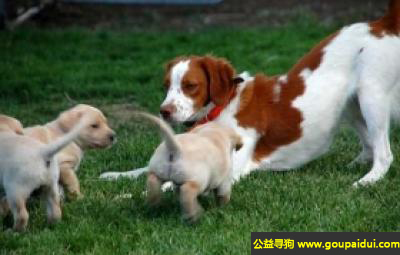 寻狗启示,布列塔尼犬 - 容易调教,也很聪明、温柔,它是一只非常可爱的宠物狗狗,希望它早日回家,不要变成流浪狗。