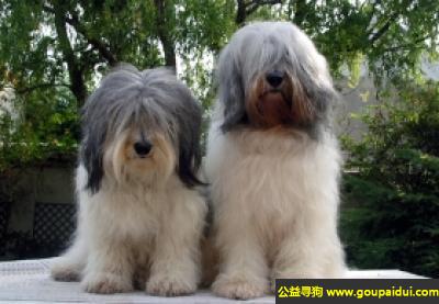 寻狗启示,波兰低地牧羊犬 - 有自制力,聪明,它是一只非常可爱的宠物狗狗,希望它早日回家,不要变成流浪狗。