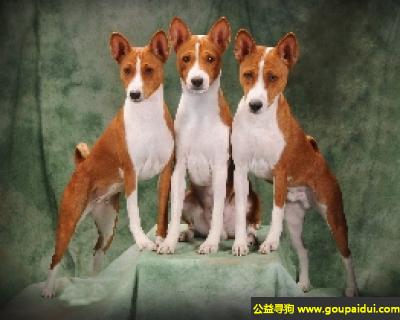 寻狗启示,巴辛吉犬 - 聪明,独立,警觉且多情,它是一只非常可爱的宠物狗狗,希望它早日回家,不要变成流浪狗。