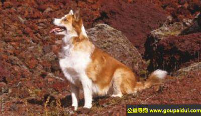 寻狗启示,冰岛牧羊犬 - 聪明活泼自信,对人温和,它是一只非常可爱的宠物狗狗,希望它早日回家,不要变成流浪狗。