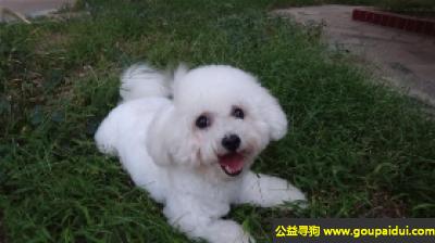 寻狗启示,活泼聪明的比熊犬 - 性情开朗,活泼,它是一只非常可爱的宠物狗狗,希望它早日回家,不要变成流浪狗。