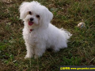 寻狗启示, 波伦亚伴随犬 - 非常警惕,不是很活跃,它是一只非常可爱的宠物狗狗,希望它早日回家,不要变成流浪狗。