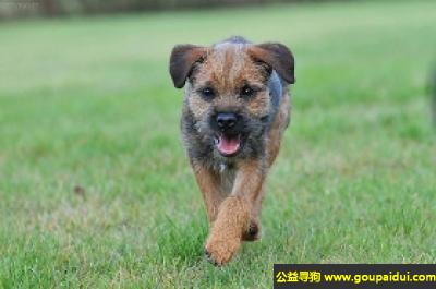 寻狗启示,伯德梗 - 勇猛,实用的犬种,它是一只非常可爱的宠物狗狗,希望它早日回家,不要变成流浪狗。
