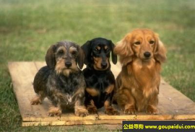 ,标准刚毛腊肠犬 - 开朗,勇敢,谨慎且自信,它是一只非常可爱的宠物狗狗,希望它早日回家,不要变成流浪狗。