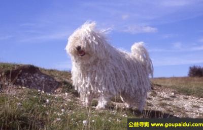 寻狗启示,波利牧羊犬 - 气质活泼,非常好学,它是一只非常可爱的宠物狗狗,希望它早日回家,不要变成流浪狗。
