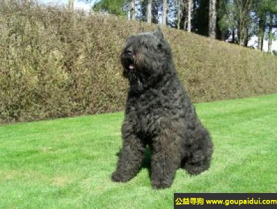 寻狗启示,比利时牧牛犬 - 非常机敏灵活、十分英勇,它是一只非常可爱的宠物狗狗,希望它早日回家,不要变成流浪狗。
