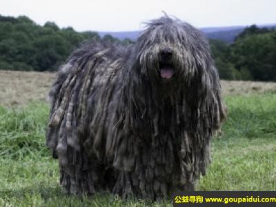 寻狗启示,贝加马斯卡牧羊犬 - 非常忠诚,而且是聪明的犬种,它是一只非常可爱的宠物狗狗,希望它早日回家,不要变成流浪狗。