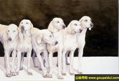寻狗启示, 比利犬 - 服从训练,喜欢锻炼,它是一只非常可爱的宠物狗狗,希望它早日回家,不要变成流浪狗。