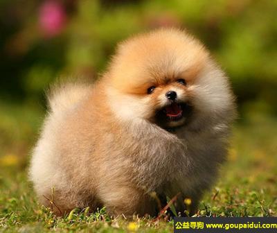 寻狗启示,博美犬 - 健康且开朗,有个性,它是一只非常可爱的宠物狗狗,希望它早日回家,不要变成流浪狗。