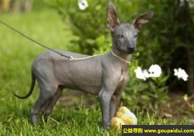 寻狗启示,秘鲁无毛犬 - 优雅、纤细、强壮有力,它是一只非常可爱的宠物狗狗,希望它早日回家,不要变成流浪狗。
