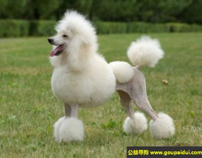 寻狗启示,标准贵宾犬 - 性情优良、聪明而优雅,它是一只非常可爱的宠物狗狗,希望它早日回家,不要变成流浪狗。