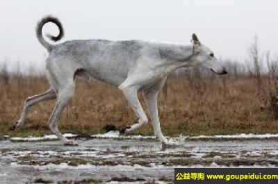 ,波兰灵缇犬 - 安静、令人舒心,它是一只非常可爱的宠物狗狗,希望它早日回家,不要变成流浪狗。