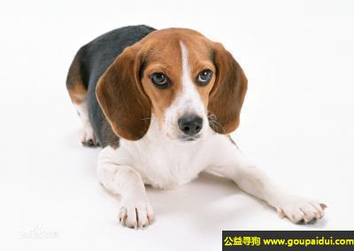 寻狗启示,比格犬 - 动作惹人怜爱,活泼,它是一只非常可爱的宠物狗狗,希望它早日回家,不要变成流浪狗。