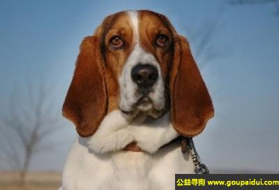 寻狗启示,巴吉度猎犬 - 聪明忠心,嗅觉敏锐,它是一只非常可爱的宠物狗狗,希望它早日回家,不要变成流浪狗。