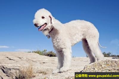 寻狗启示,贝灵顿梗犬 - 大胆、强健、敏捷,它是一只非常可爱的宠物狗狗,希望它早日回家,不要变成流浪狗。