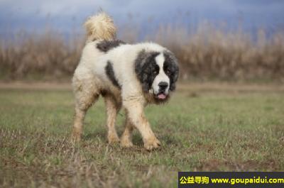 寻狗启示,比利牛斯獒犬 - 对人友好、冷静、高贵,它是一只非常可爱的宠物狗狗,希望它早日回家,不要变成流浪狗。