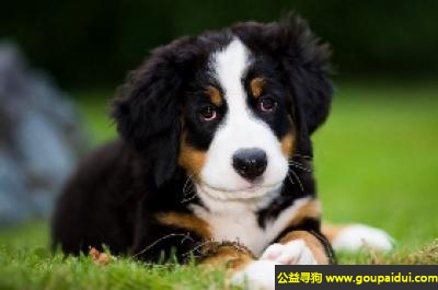 寻狗启示,伯恩山犬 - 十分好奇,十分活泼,它是一只非常可爱的宠物狗狗,希望它早日回家,不要变成流浪狗。