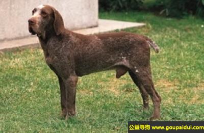 寻狗启示,博格斯指示犬 - 听话、有力量、嗅觉灵敏,它是一只非常可爱的宠物狗狗,希望它早日回家,不要变成流浪狗。