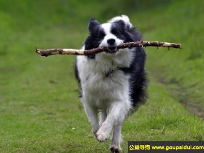 寻狗启示,边境牧羊犬 - 精力充沛、警惕而热情,它是一只非常可爱的宠物狗狗,希望它早日回家,不要变成流浪狗。