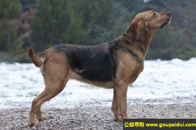 寻狗启示,波兰猎犬 - 不爱叫,没有迫切的运动愿望,它是一只非常可爱的宠物狗狗,希望它早日回家,不要变成流浪狗。