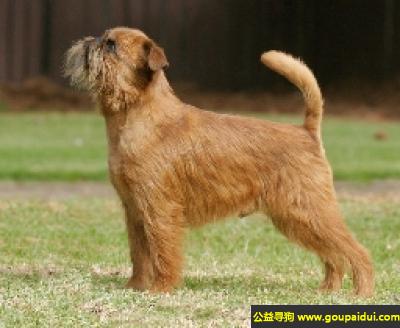 寻狗启示,布拉塞尔猎犬 - 聪明、警觉、自信,它是一只非常可爱的宠物狗狗,希望它早日回家,不要变成流浪狗。