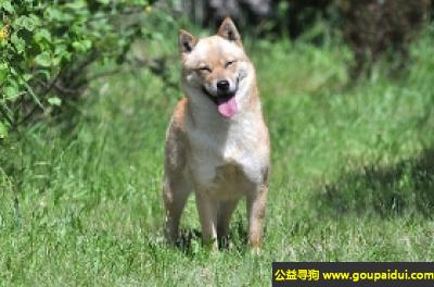寻狗启示,北海道犬 - 忠实、温顺丰富戒心,大胆,它是一只非常可爱的宠物狗狗,希望它早日回家,不要变成流浪狗。