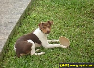 寻狗启示,巴西梗犬 - 喜欢陪伴慢跑者和漫游者,它是一只非常可爱的宠物狗狗,希望它早日回家,不要变成流浪狗。