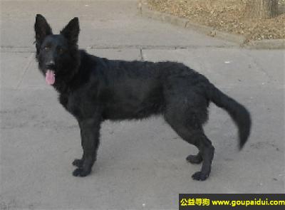 寻狗启示,比利时牧羊犬 - 勇敢、机警、对主人热爱,它是一只非常可爱的宠物狗狗,希望它早日回家,不要变成流浪狗。
