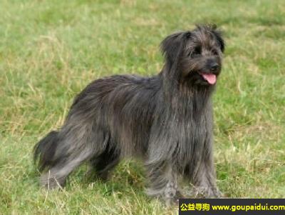 寻狗启示,长毛比利牛斯牧羊犬 - 速度快、耐力强且灵敏,它是一只非常可爱的宠物狗狗,希望它早日回家,不要变成流浪狗。