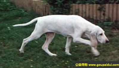 寻狗启示,瓷器犬 - 特别喜欢运动,也容易调教,它是一只非常可爱的宠物狗狗,希望它早日回家,不要变成流浪狗。